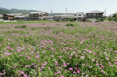 レンゲの花を探しに ~明日香村~