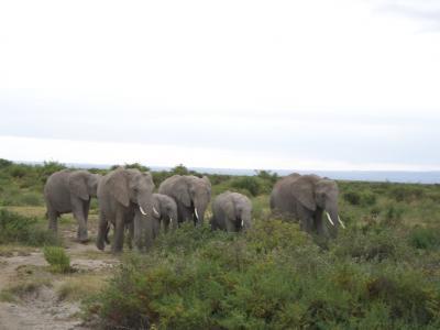 2008 アフリカ ケニア・アンボセリでの動物サファリ