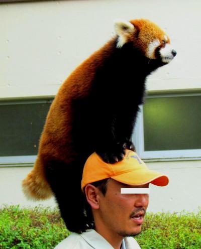 真夏のレッサーパンダ紀行【4】 茶臼山動物園 再訪 ロン君のお散歩タイム