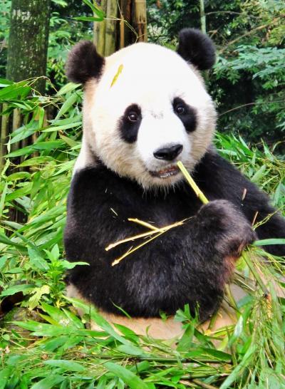 四川省44 パンダa 大熊猫研究中心・雅安碧峰峡基地で ☆竹の朝食は9時半から