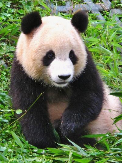 四川省45 パンダb 雅安碧峰峡・帰国パンダの楽園 ☆ゆったりのんびりと