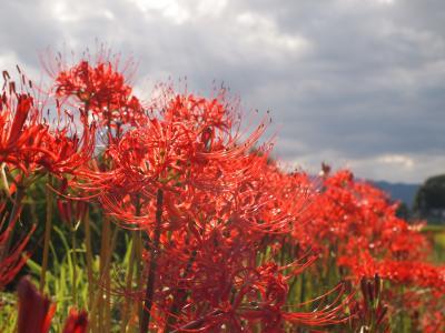 秋の週末はたんぼ道をぶらりとお散歩  ~明日香村の彼岸花祭り~