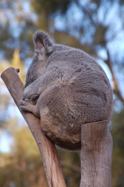 コアラのなる木、再び