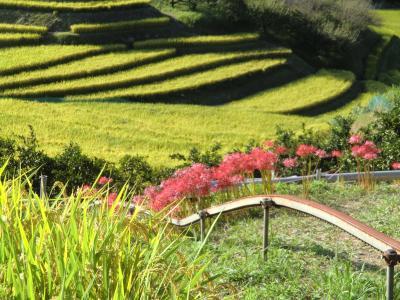 2011  千早赤阪村の秋  稲刈り前の棚田百選