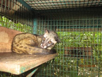 バリ島の1週間(52)バリコーヒー(コピルフ)とジャコウ(麝香)猫。