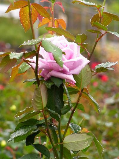島田ばらの丘フェスティバル★雨の薔薇と姫コスプレ体験