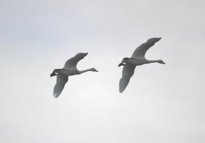 白鳥と雁の飛来地・福島潟(新潟市)へ