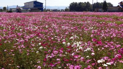 2011紅葉追っかけ⑦・・・県立松本筑摩高校西側のコスモス