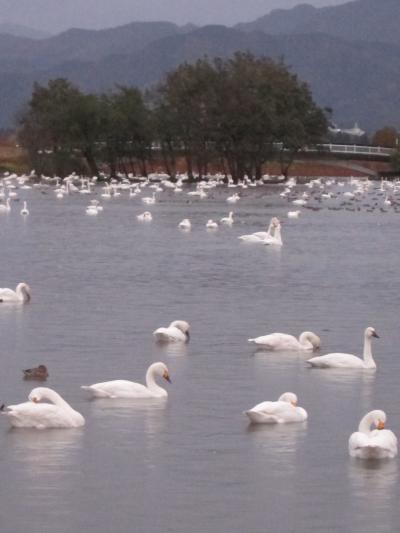 【新潟】 東京から日帰りで新潟!~白鳥の飛来する瓢湖+絶品のどぐろを堪能♪