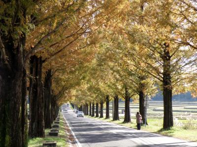 高島市のメタセコイア並木の紅葉