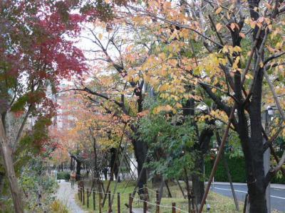 赤坂で桜(冬咲きです)