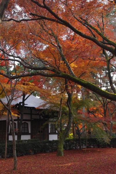 京都 真如堂の敷き紅葉を楽しむ 2011
