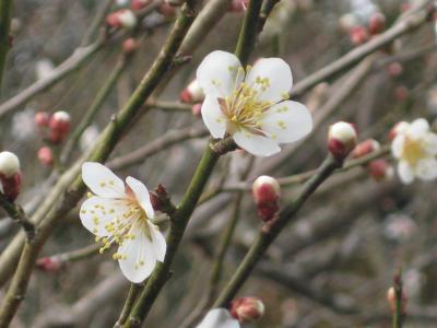 初春の京都 しょうざん庭園の梅