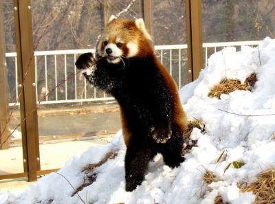 新春レッサーパンダ紀行 長野市茶臼山動物園 あけましておめでとう!!茶臼山パンダは雪の中でも元気元気!!