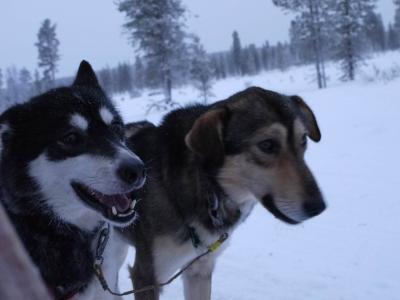 フィンランドで念願の犬ぞりを体験し、感動してきました!