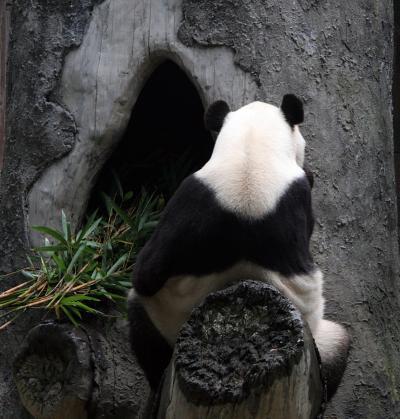 福建省 福州熊猫世界のパンダ達(巴斯、林陽、龍飛、福福、雷雷、福州7号など)