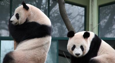 上海野生動物園と上海動物園のパンダ達(安安・平平など)