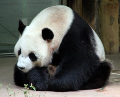 広州動物園のパンダ達(龍昇・武俊)