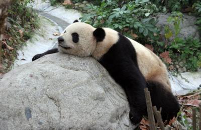 中国四川省成都「成都大熊猫繁育研究基地」のパンダちゃん達(五一、幸浜、隆浜、蜀蘭、美蘭など)