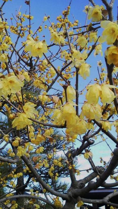 小さな旅 厳寒に春を求めて 残雪とロウバイの梅林山全徳寺