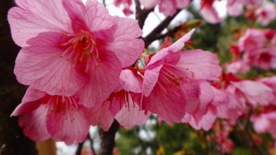 伊豆土肥桜の花見・・・松原公園駐車場脇