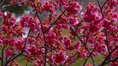 伊豆土肥桜・・・最後は、サイトで3分咲きの万福寺