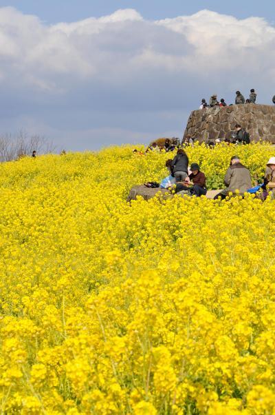 「 吾妻山 菜の花 ウォチング 」 2012