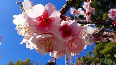 土肥温泉へ土肥桜を観に行きました。
