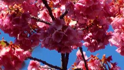 万福寺の伊豆土肥桜は見頃でした。 伊豆土肥桜編