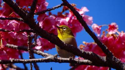 万福寺の伊豆土肥桜は見頃でした。 メジロ編