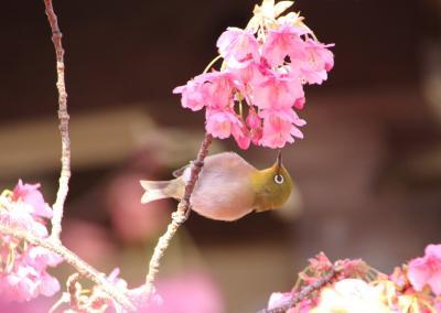 594 土肥桜・河津桜・伊豆半島旅行
