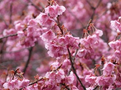 やっといい感じになった荏原神社の寒緋桜 2012