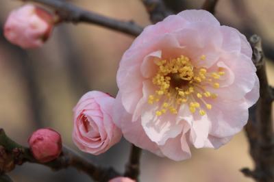 梅だより 荒山公園(多治速比売神社) やっと咲き始めました。
