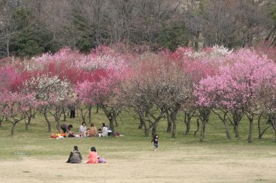 2012早春、やっと見頃になってきた大高緑地公園の梅林(1)