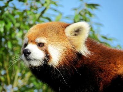 レッサーパンダ紀行<2020年8月13日/14日 鯖江市西山動物園>