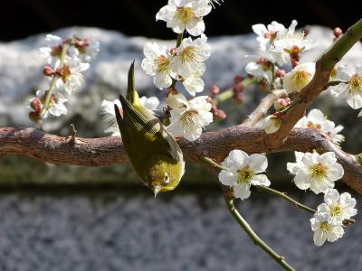 亀戸天神&湯島天神の梅