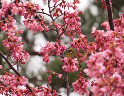 横浜八景島シーパラダイスのオカメザクラが、ようやく開花しました 2012年3月18日