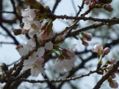 2012年03月 桜が開花!!シーズン直前の高知市内お花見スポットをチェック♪