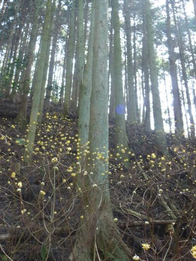 鈴鹿に春が ミツマタの花咲く野登山から野登寺へ