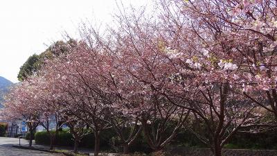 丸山スポーツ公園で花見