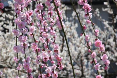 あふれんばかりに満開だった梅まつり終了翌日の越生梅林(前編)すばらしき梅花トンネルと梅とピンクの枝垂梅に魅せられて