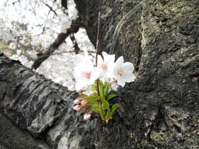2012年04月 神田川の桜の状況について(速報)