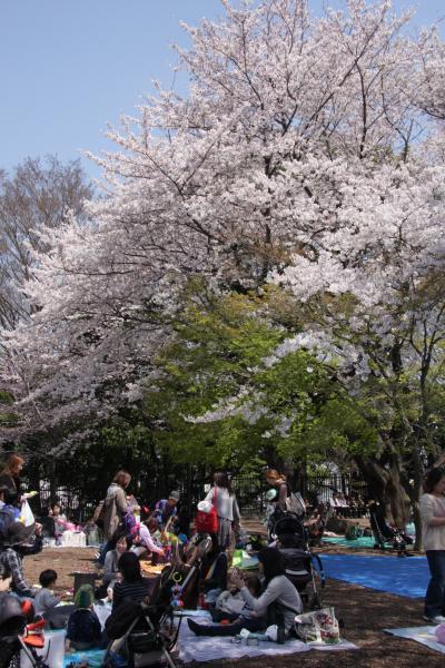小さな旅 都電荒川線で桜めぐり(飛鳥山公園・神田川)2012 Sakura tour by Tram Arakawa Line/Asukayama and Kandagawa