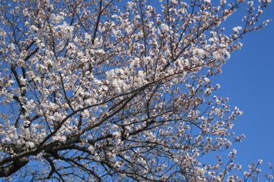 2012春、三好池の五分咲きの桜(1)ソメイヨシノ、三好池神社、紫木蓮、スズラン