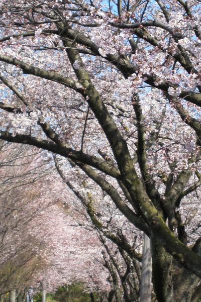 2012春、三好池の五分咲きの桜(2)ソメイヨシノ、大島桜、小彼岸桜、八重紅彼岸桜