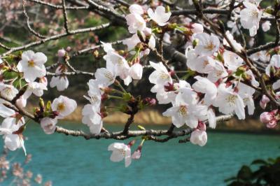 2012春、三好池の五分咲きの桜(3)ソメイヨシノ、あざぶ梅の丘