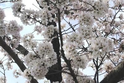2012春、三好池の五分咲きの桜(4:完)ソメイヨシノ、レンギョウ、雪柳、沈丁花