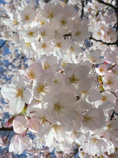 名古屋城・鶴舞公園・山崎川の桜2012(4月15日更新)