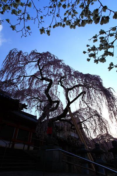 奈良 氷室神社の枝垂れ桜と奈良町歩き