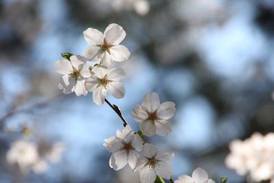 咲いた、咲いた、桜が咲いた♪:品川~御殿山